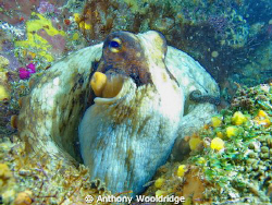 A common octopus taken at Riybanks in Port Elizabeth Sout... by Anthony Wooldridge 